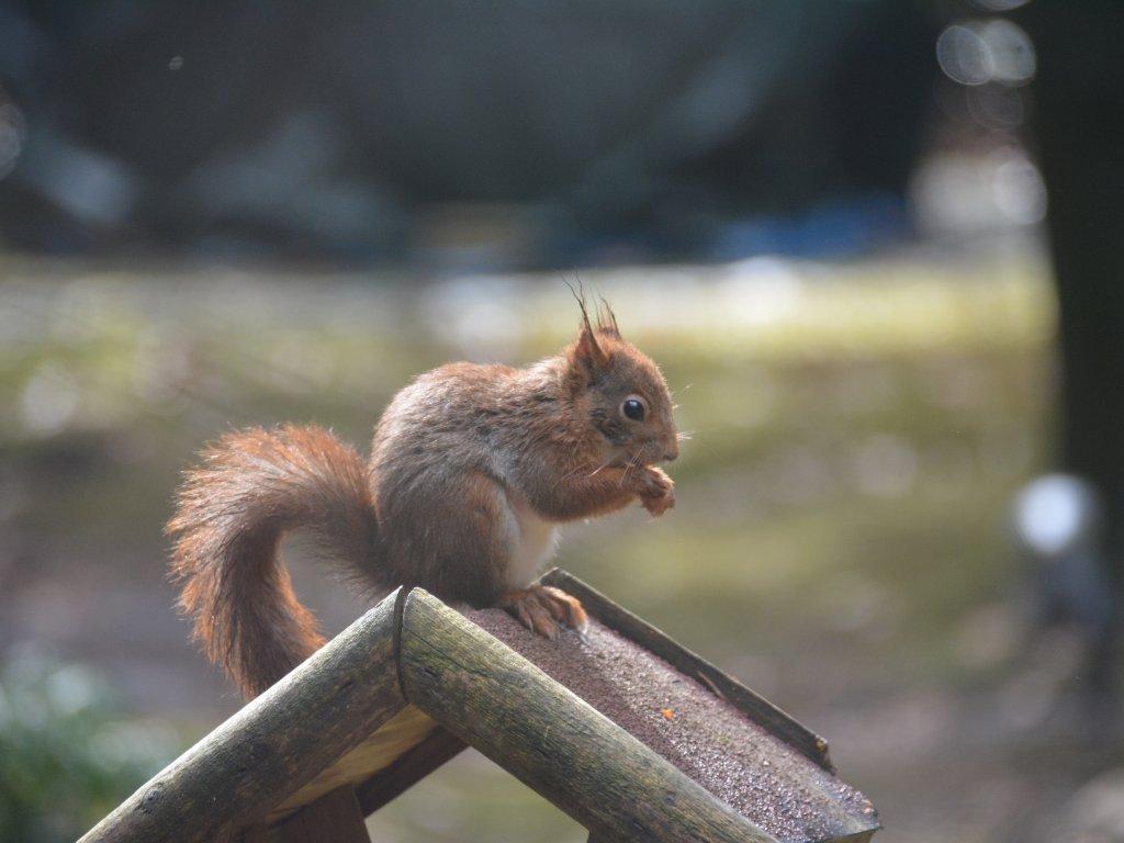 Beaucoup de écureuils visitent le jardin, surtout avec les noix